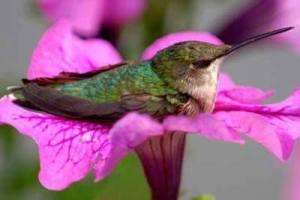 animali colibrì su ibiscus rosa