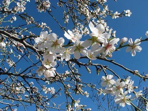 fiore-di-mandorlo_O1